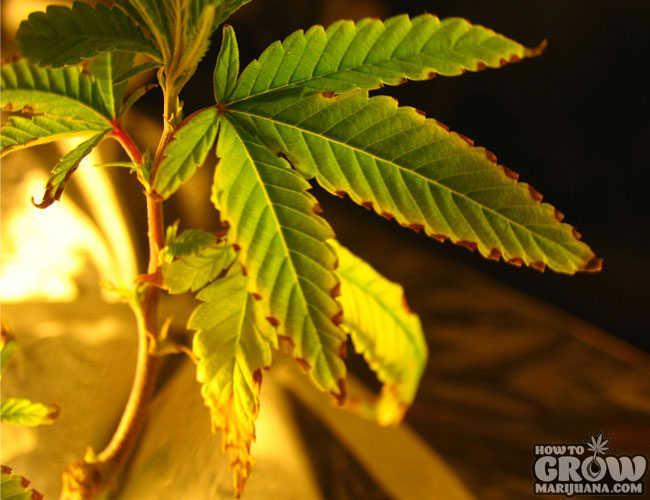 9 common marijuana growing mistakes and how to fix them marijuana plant with nutrient burn mightylinksfo