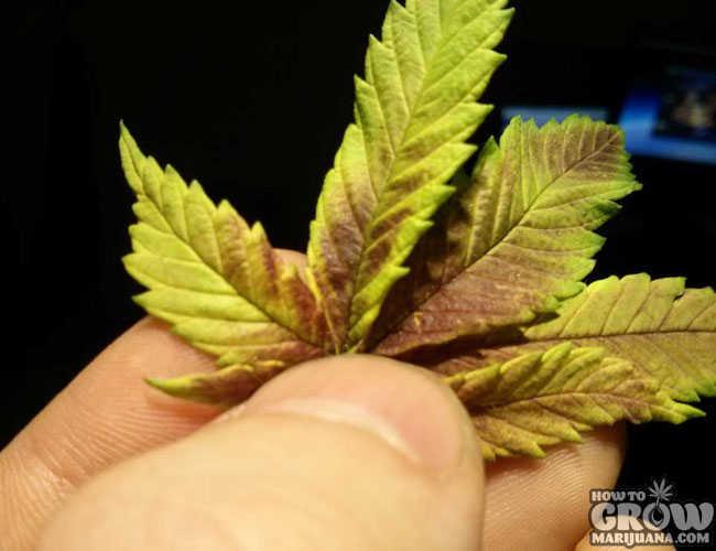 9 common marijuana growing mistakes and how to fix them marijuana plant with a phosphorus deficiency mightylinksfo