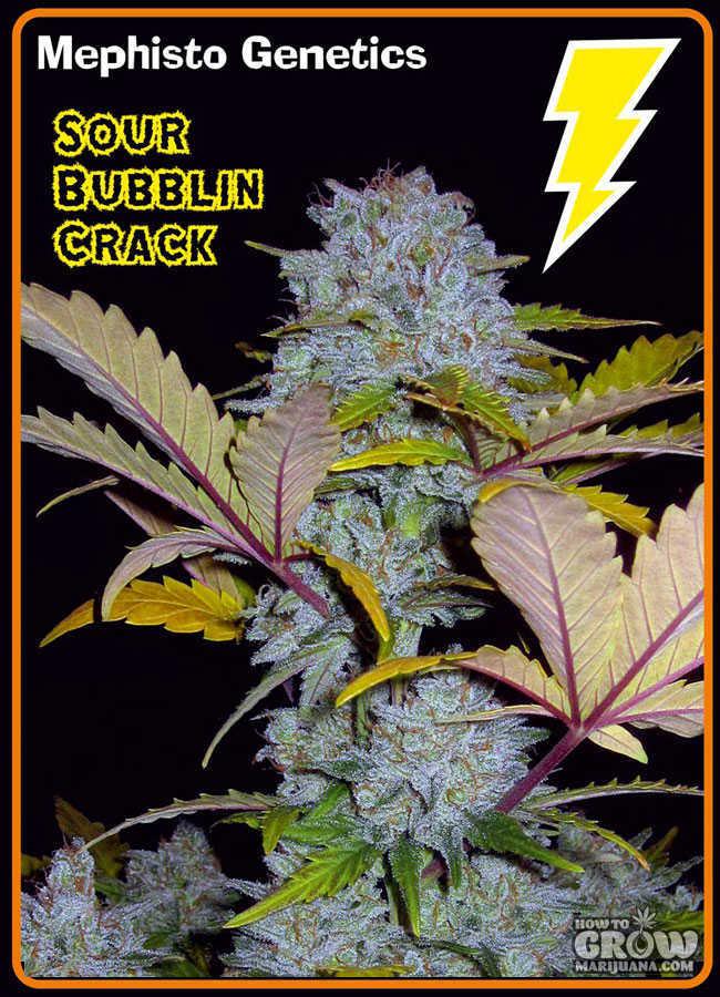 Mephisto Genetics Sour Bubblin Crack Autoflowering