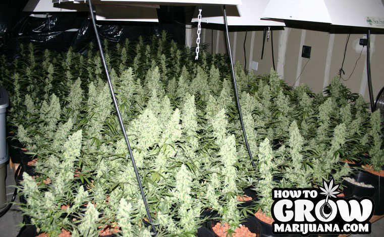 7 Steps To Grow Awesome Indica Marijuana