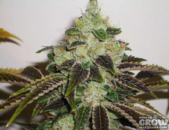 303 Jet Fuel G6 Marijuana Seeds