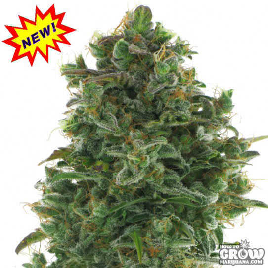 AC Genetics Turbo Jack Feminized Seeds