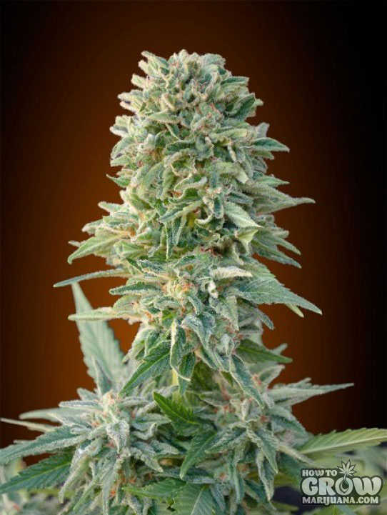 Advanced Auto Jack Herer Feminized Seeds