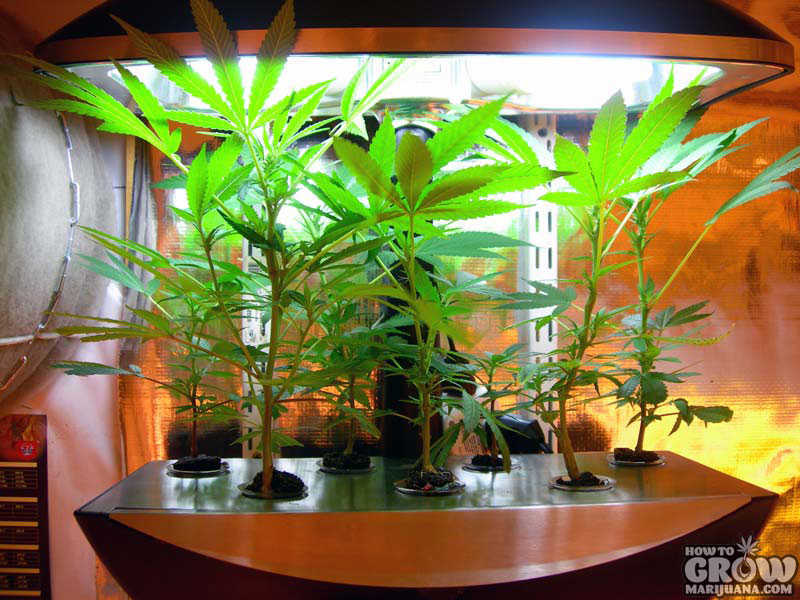5 Common Problems Faced By Hydroponic Marijuana Growers
