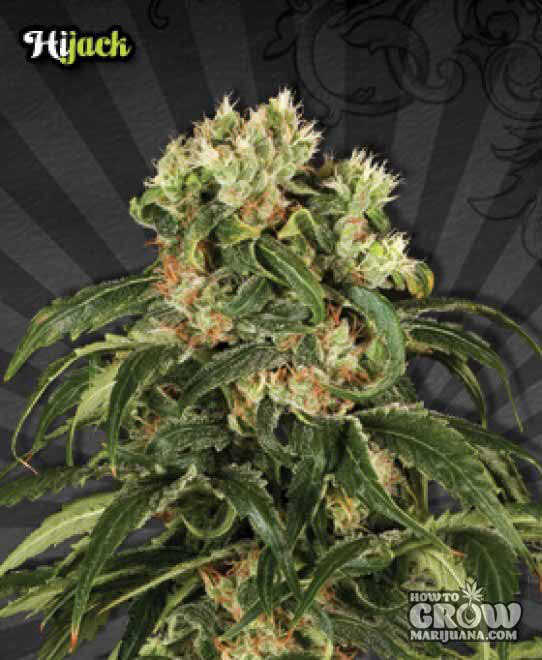 Auto Hijack Feminized Seeds