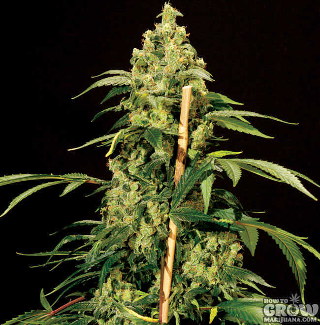 Bull Dog Jack Herer Feminized Seeds