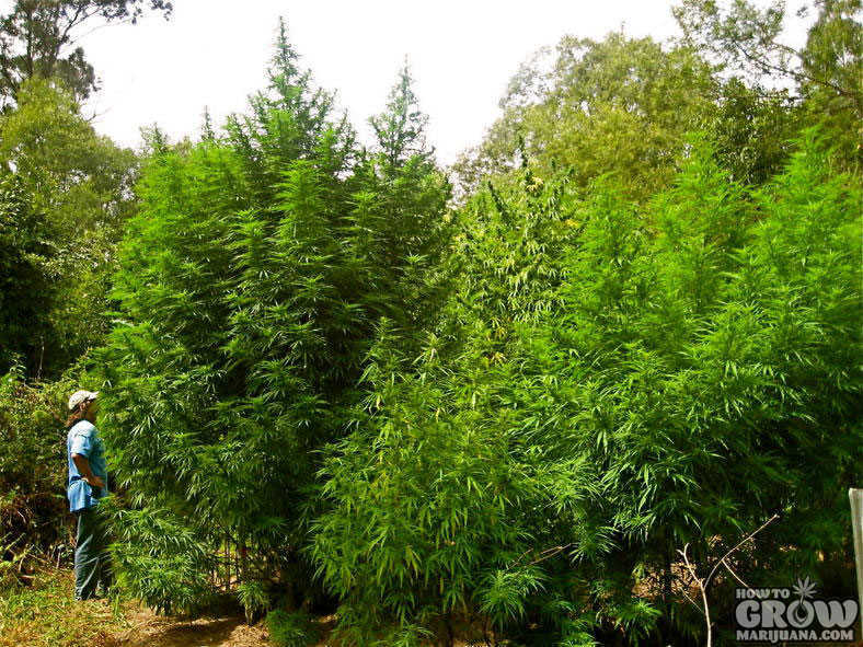 Cannabis Trees Outdoor Grow