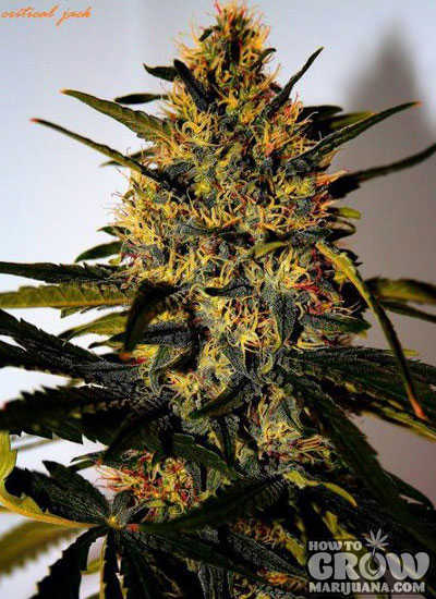 Delicious Critical Jack Feminized Seeds