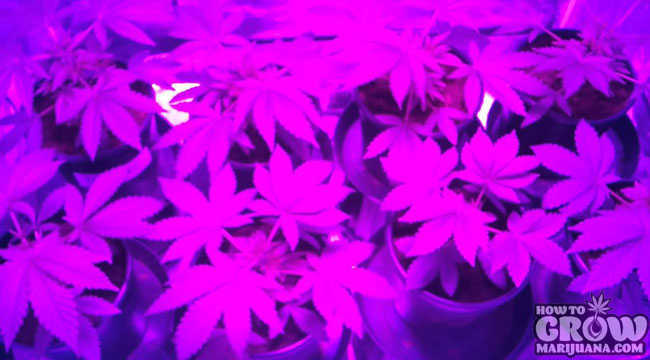 dorm grow 450w led cannabis. Black Bedroom Furniture Sets. Home Design Ideas