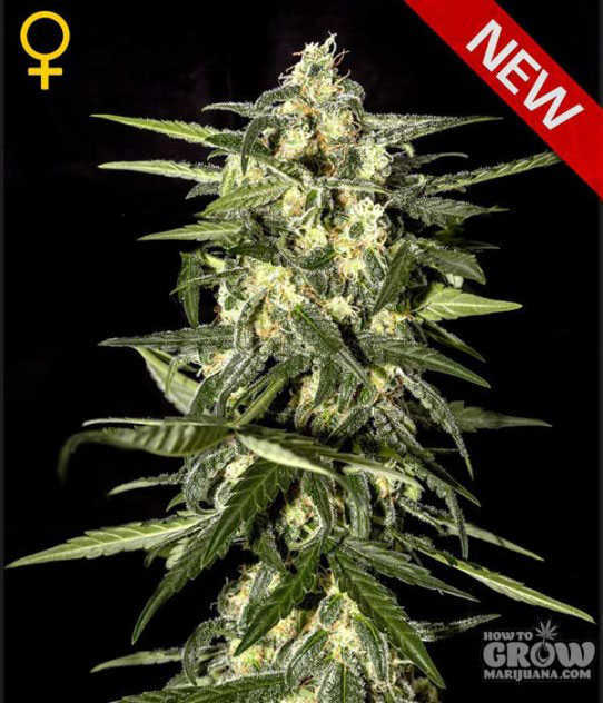 Green House Jack Herer Auto-Flowering Feminized Seeds