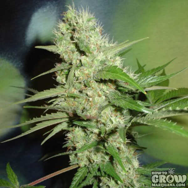 Homegrown Fantaseeds Jack Herer Feminized Seeds