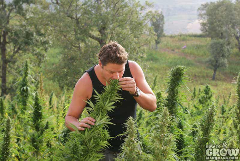 jack herer cannabis seeds