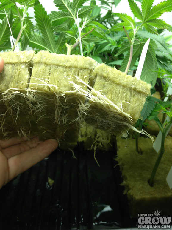 Jack Herer Cannabis Clone Roots