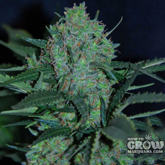 Original Sensible Auto Black Jack Herer Feminized Seeds