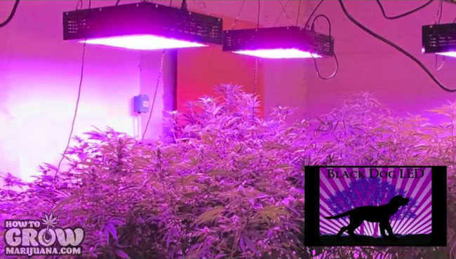 Phytomax 800 Grow Light Cannabis