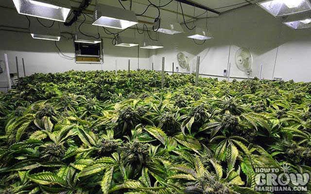 The unconventional guide to growing the best indoor for Cannabis plantation interieur