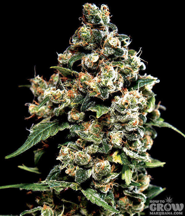 Seedsman Jack Herer Feminized Seeds