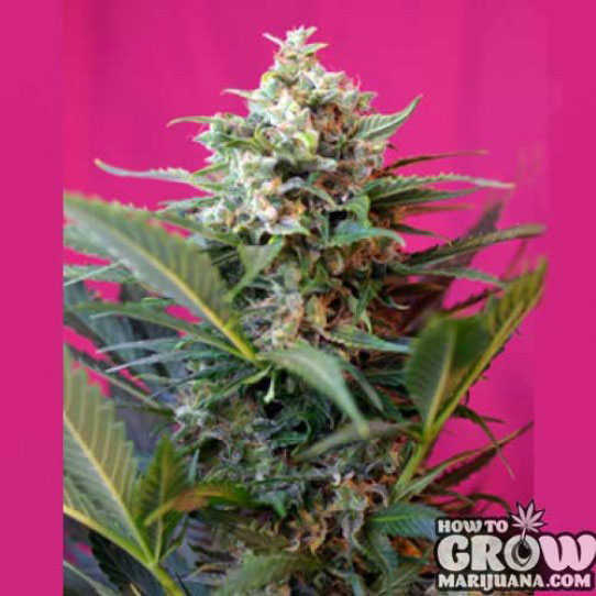 Sweet Big Devil XL Automatic Feminized Seeds