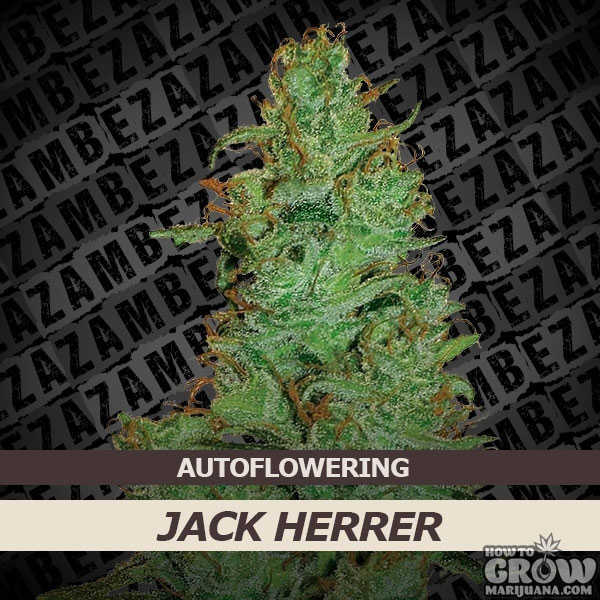 Zambeza Jack Herer Auto-Flowering Feminized Seeds