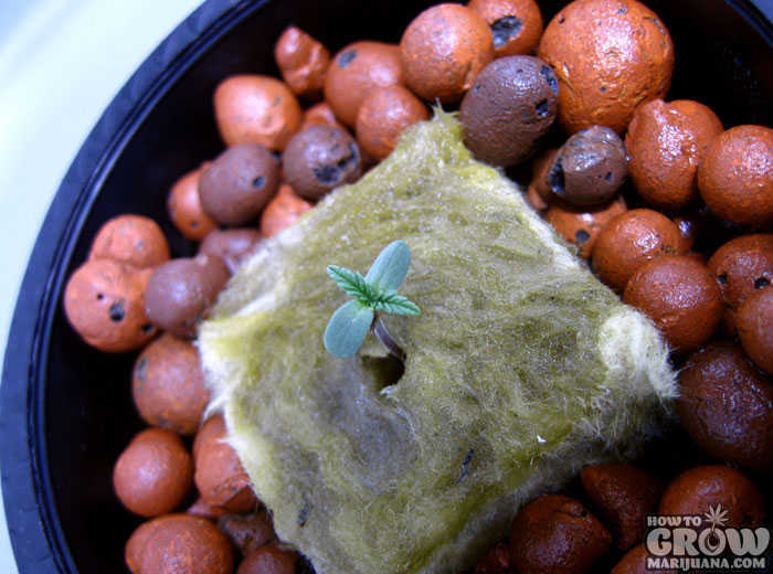 Germinating Marijuana for Indoor Growing