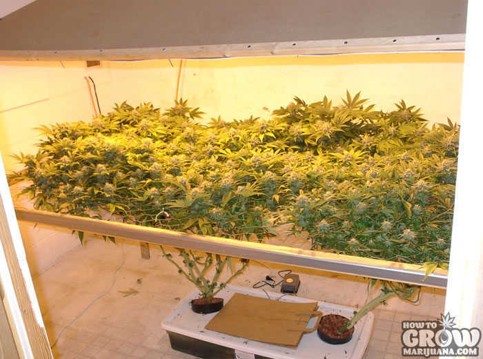 Grow Marijuana Indoors SCOG