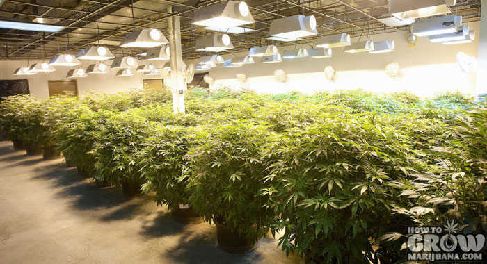 Growing Medical Marijuana Indoors