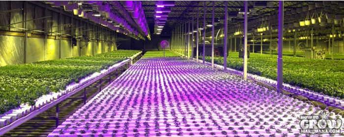 Massive Indoor Marijuana Grow & How to Grow Marijuana Indoors
