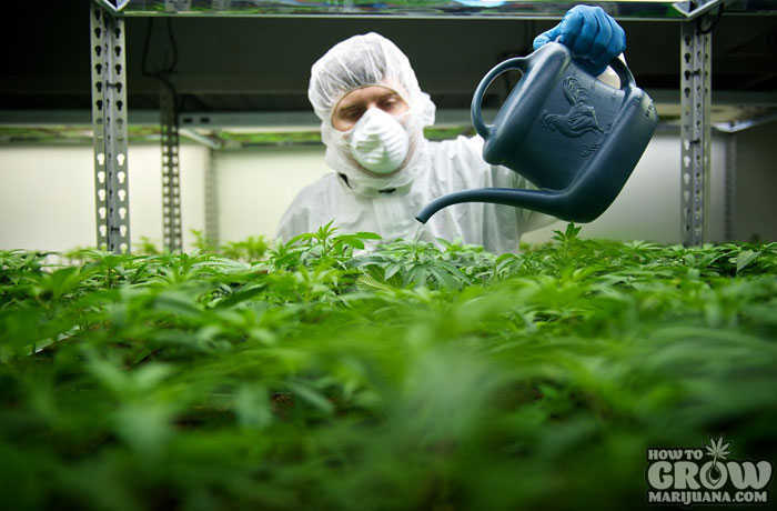 Pesticide Use in Cannabis Grow