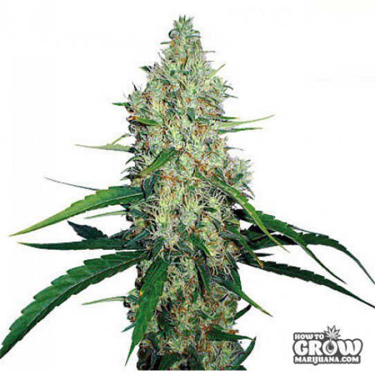 Barney's Farm G13 Haze Feminized Seeds