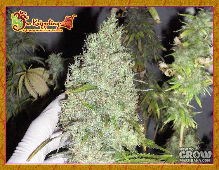Dr. Krippling Incredible Bulk Feminized Seeds