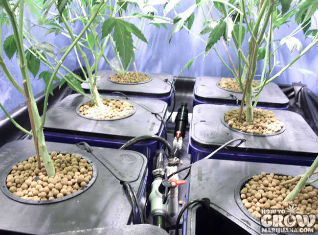 flushing marijuana in a hydroponic set up