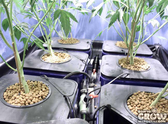 Harvesting Drying And Curing Marijuana