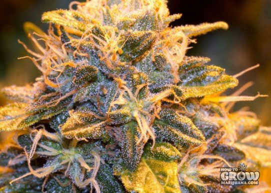 Green House Bubba Kush Seeds
