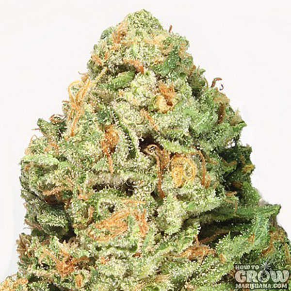 Heavyweight Fruit Punch Feminized Seeds