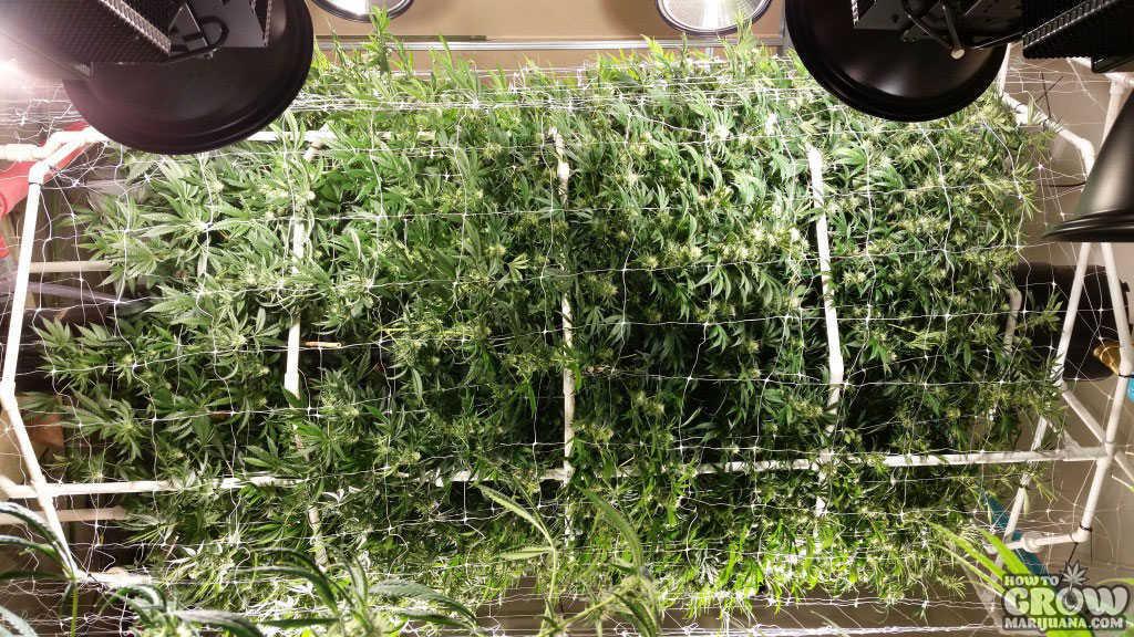 Lovely Cylinder Cannabis Grow