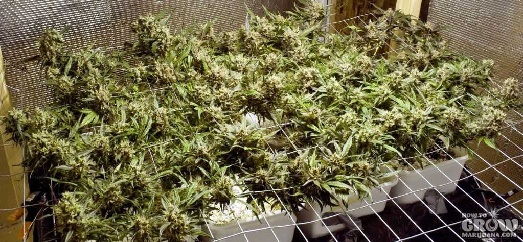Grow Marijuana with SCOG