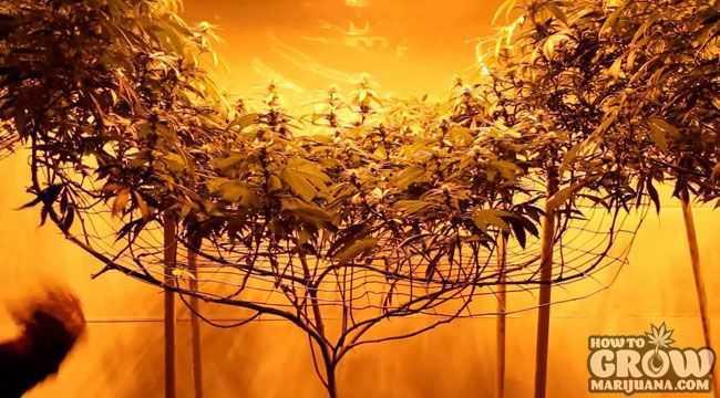 Single Plant SCOG Grow