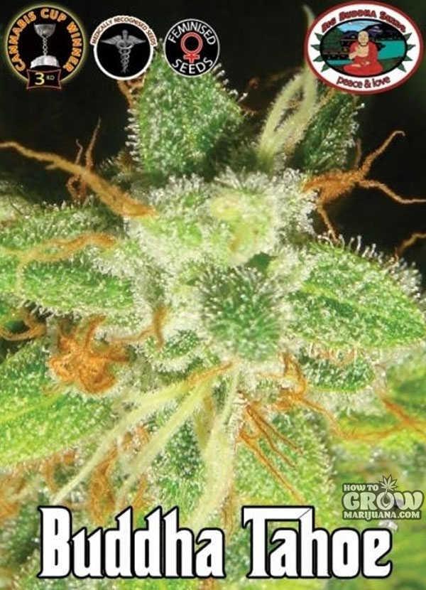 Blue Widow Weed