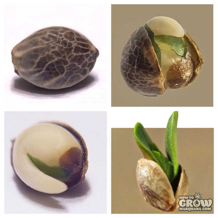 Germinating Cannabis Seed Embryo and Shell