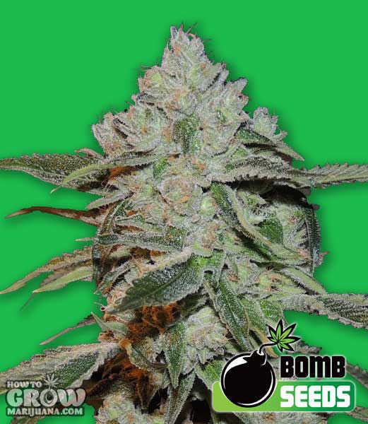 Atomic-Bomb-Feminized-Seeds