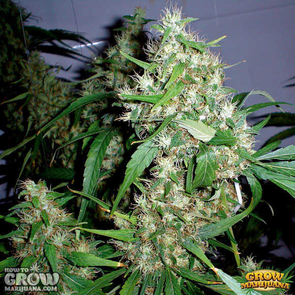 Big-Bomb-Feminized-Seeds