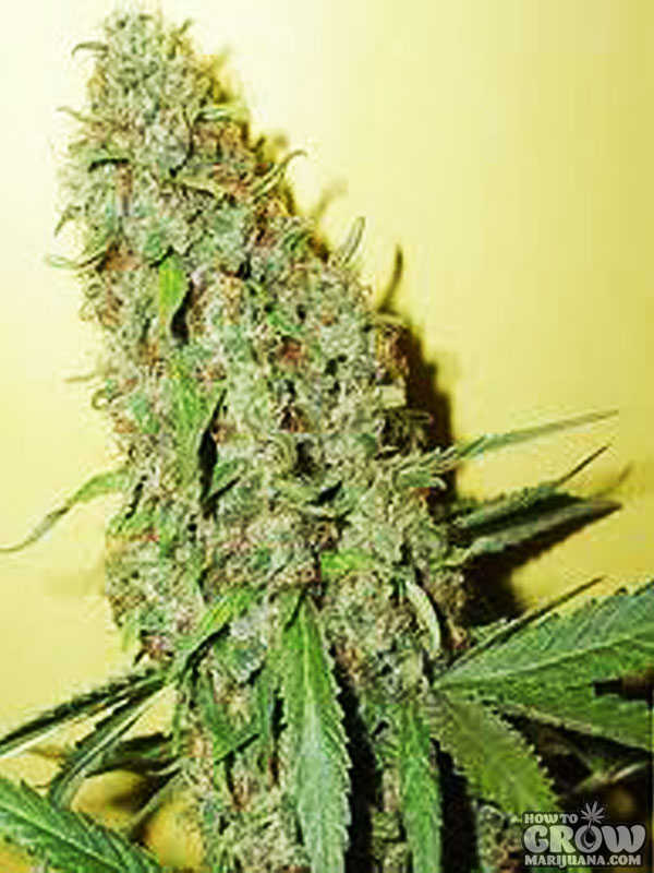 Cheese-Bomb-Feminized-Seeds