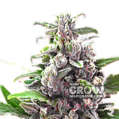 Ice-Bomb-Feminized-Seeds