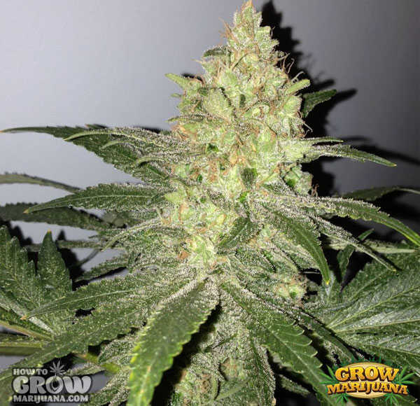 Kush-Bomb-Feminized-Seeds
