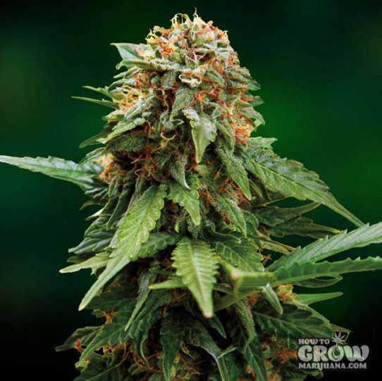 Tangerine Dream Feminized Seeds