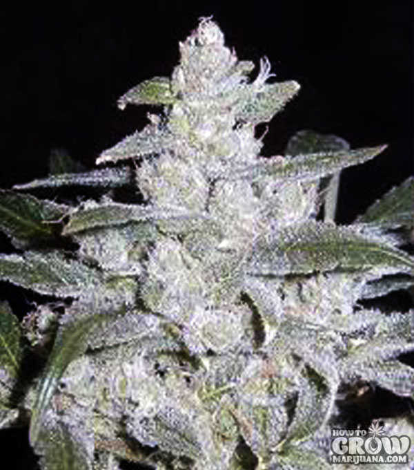 Widow-Bomb-Feminized-Seeds