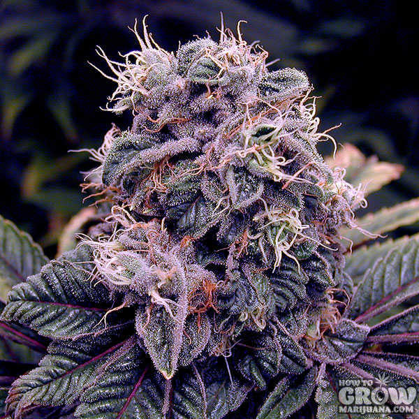 blueberry-feminized-marijuana