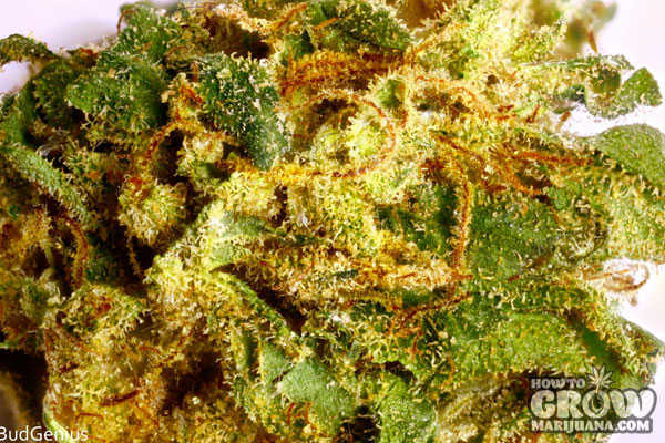juicy-fruit-cannabis