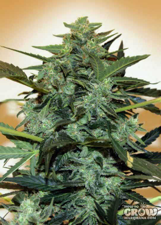 00 Auto Cheese Berry Feminized Seeds