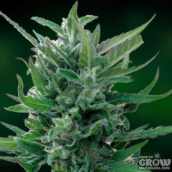 Barney's Blue Mammoth Auto-Flowering Feminized Seeds